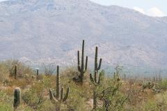 Saguaro-17