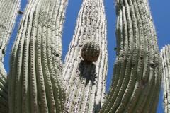 Saguaro-22