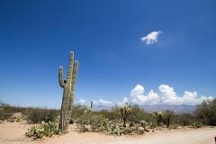Saguaro-24