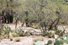 Saguaro-26