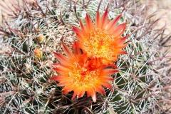 Saguaro-28