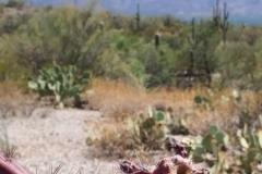 Saguaro-3