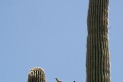 Saguaro-36