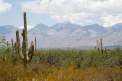 Saguaro-37