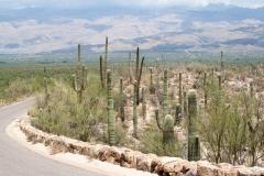 Saguaro-41