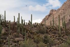 Saguaro-42