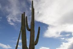 Saguaro-53