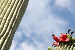 Saguaro-60