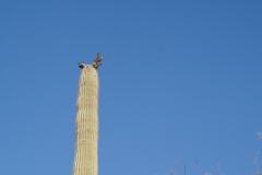 Saguaro-67