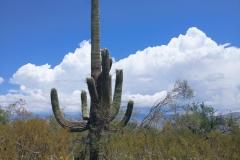 Saguaro-7