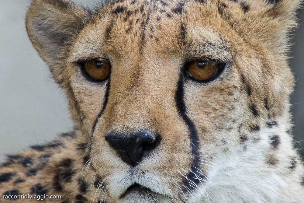 ghepardi-14