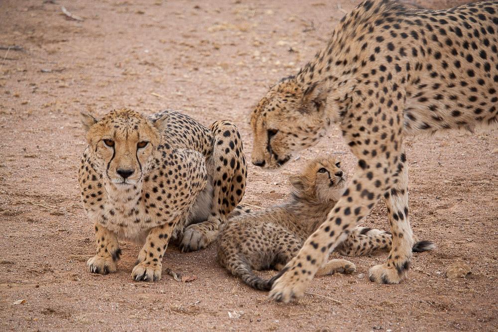 ghepardi-19