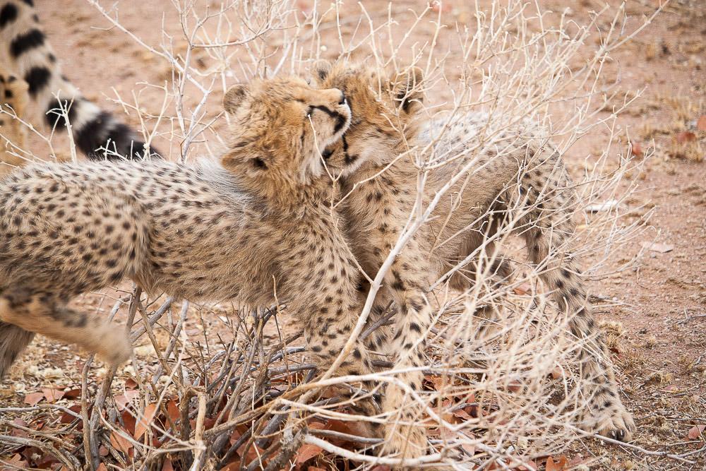 ghepardi-20