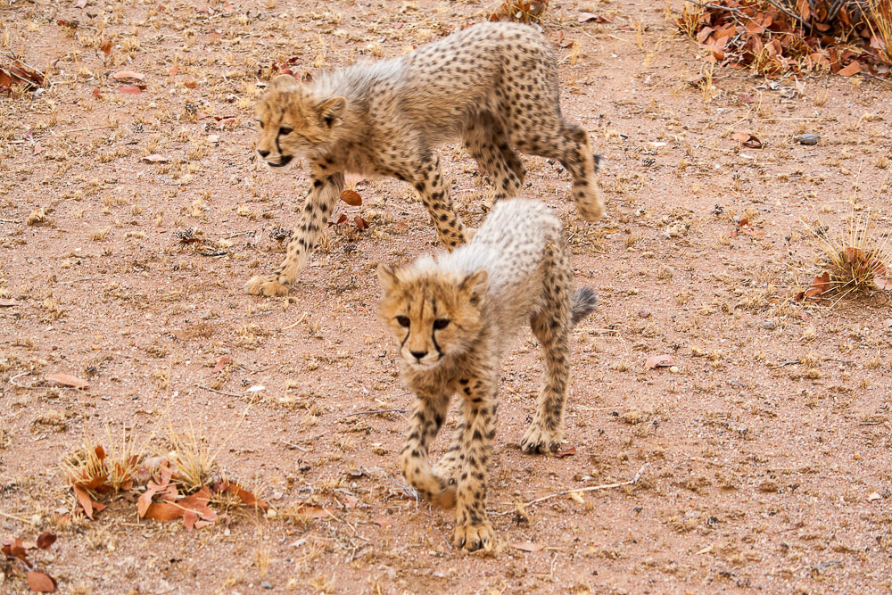 ghepardi-21