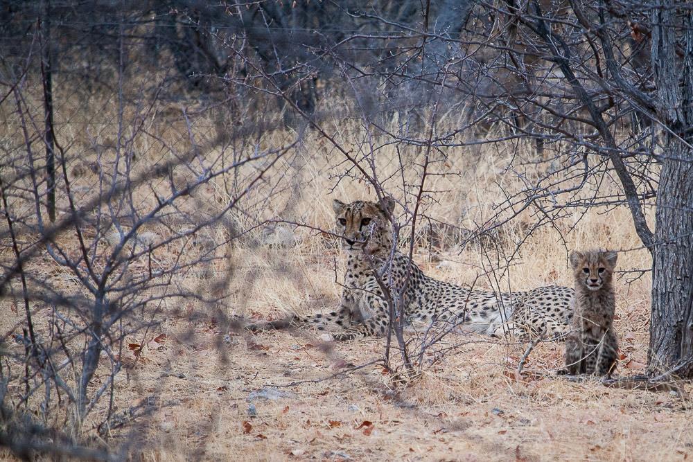 ghepardi-32