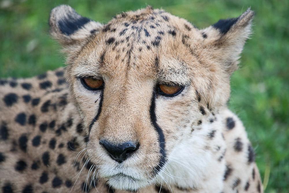 ghepardi-4