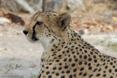 ghepardi-10