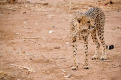 ghepardi-15