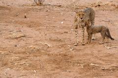 ghepardi-16