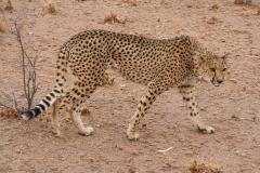 ghepardi-17