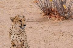 ghepardi-18