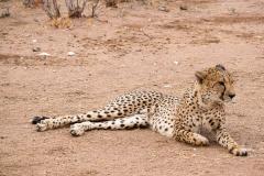ghepardi-22