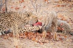 ghepardi-23