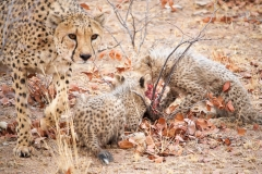 ghepardi-24