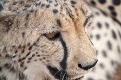 ghepardi-27