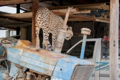 ghepardi-3