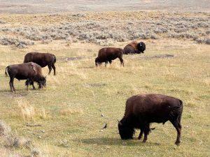 Bisonti - Yellowstone NP, Montana